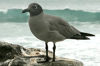 Lava gull photo - Larus fuliginosus - G24991 | ARKive